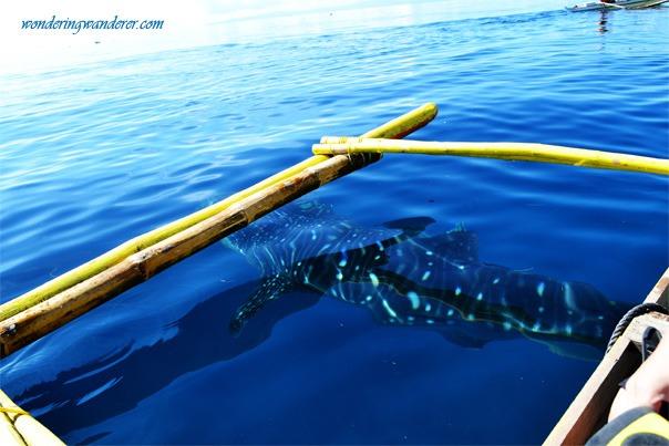 Oslob, Cebu Whale Shark