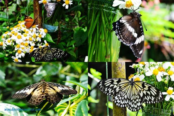Simply Butterflies Conservation Center group of butterflies