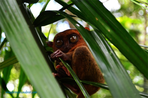A defensive-looking tariser at the Tarsier Conservation Area - Sanctuary Bohol