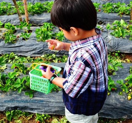 La Trinidad Straberry Farm's light colored strawberry