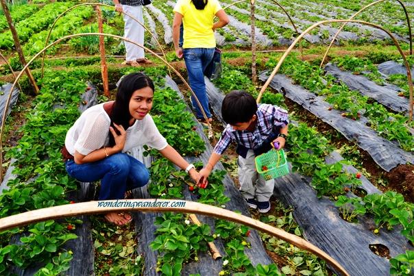 La Trinidad Straberry Farm's Strawberry picking with Baby