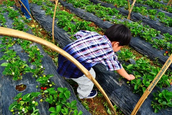 La Trinidad Straberry Farm Strawberry picking