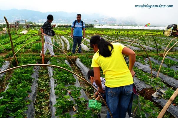 La Trinidad Strawberry Farm's Baby Busy Picking Strawberries