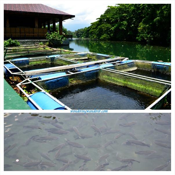 Villa escudero plantations and resort tiaong quezon for Koi pond quezon city