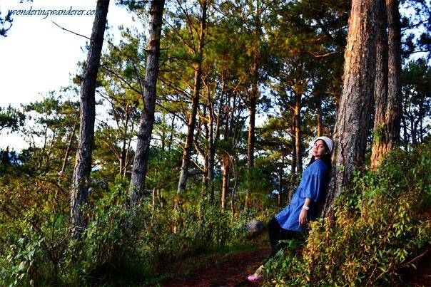 Kiltepan Pine Trees