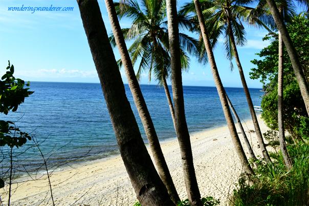 Coconuts of Guisi Beach - Guimaras