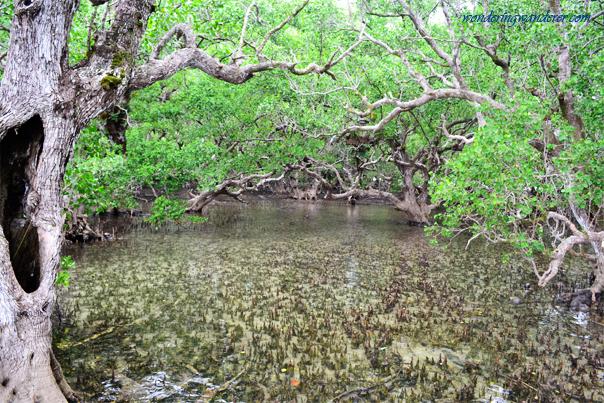 Camiguin: Katunggan Mangrove Park