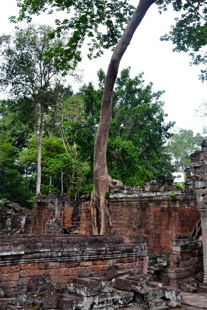 Giant tree at Preah Khan - Siem Reap, Cambodia