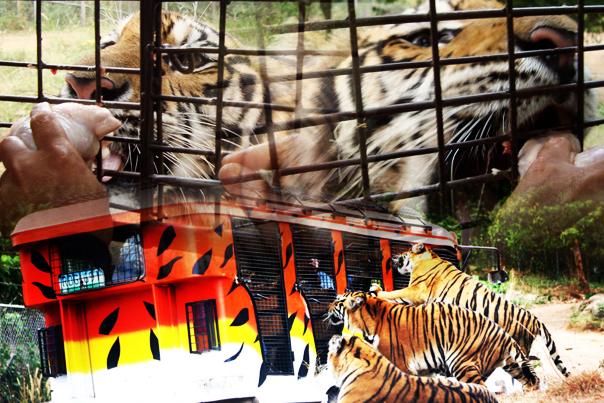 Tiger Safari of Zoobic Safari - Subic Bay Freeport Zone