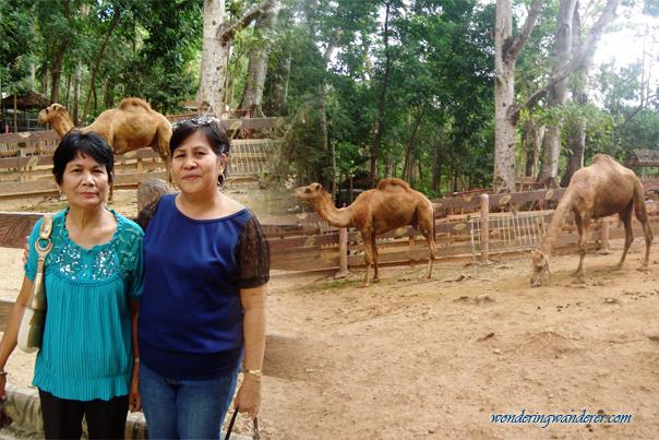 Camels of Zoobic Safari - Subic Bay Freeport Zone